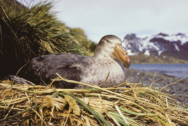 Southern Giant Petrel Print by Peter Scoones