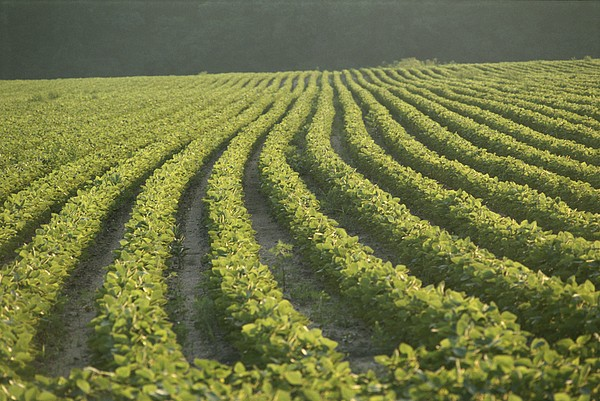 Soybean Crop Ready To Harvest Print by Brian Gordon Green