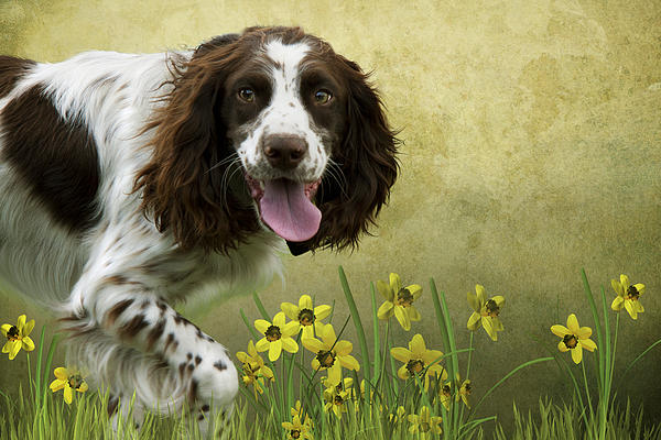 Spaniel With Daffodils Print by Ethiriel  Photography
