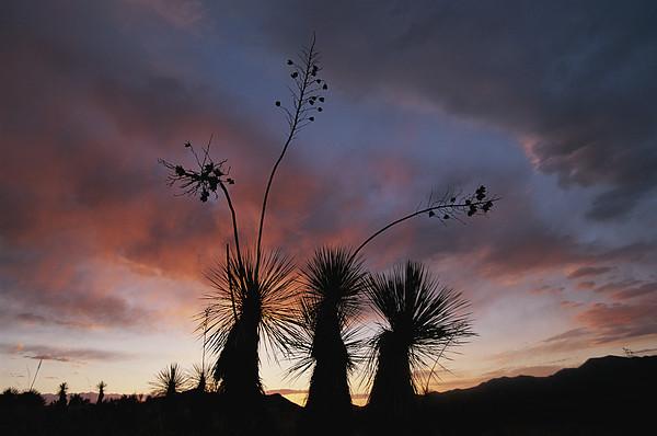 Spanish Bayonet Yucca Plants Print by Annie Griffiths