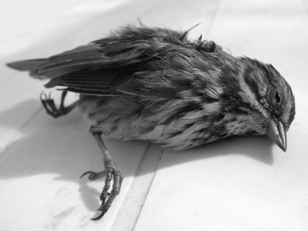 Sparrow Print by Robert Bissett