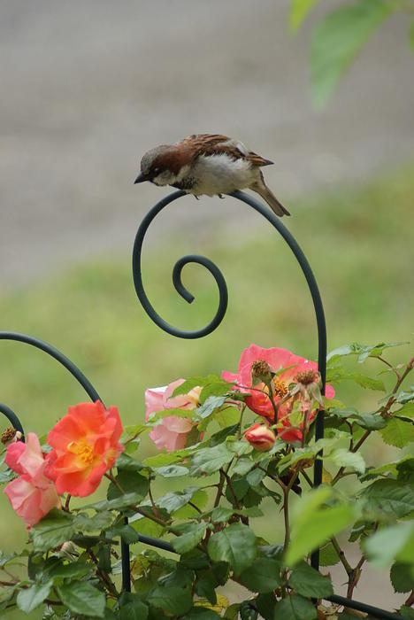 William Ohanlan - Sparrow
