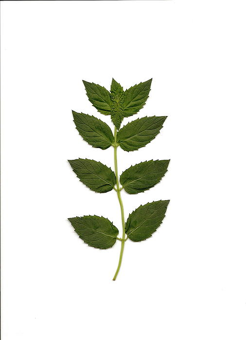 Spearmint Print by Mary Ann Southern