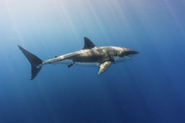 Spectacular Sunrays On A Spectacular Shark Print by Steven Trainoff Ph.D.
