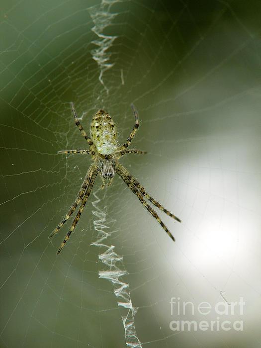 Spider Print by Odon Czintos