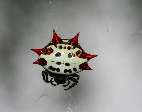 April Wietrecki Green - Spiny Orb Weaver