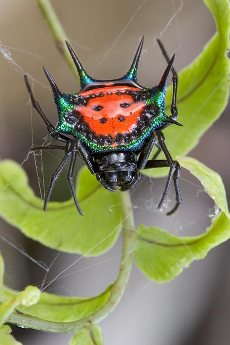 Spinybacked Orbweaver Spider Solomon Print by Piotr Naskrecki