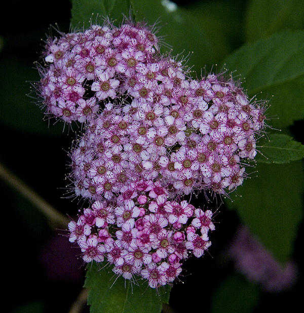 Michael Friedman - Spiraea