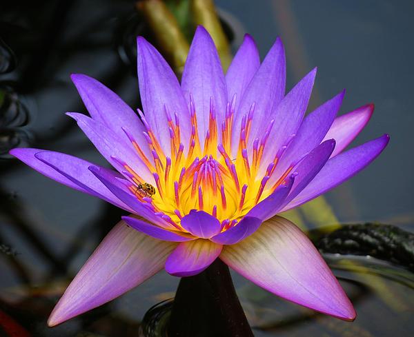 Vijay Sharon Govender - Spiritaul Violet lily