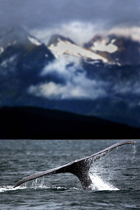 Splash From Tail Of Humpback Whale Print by Richard Wear