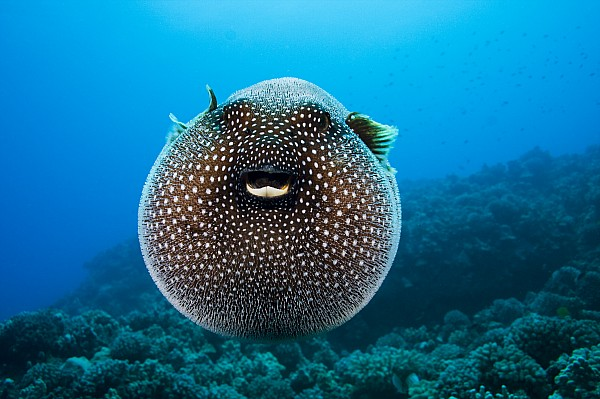 Spotted Pufferfish Print by Dave Fleetham - Printscapes