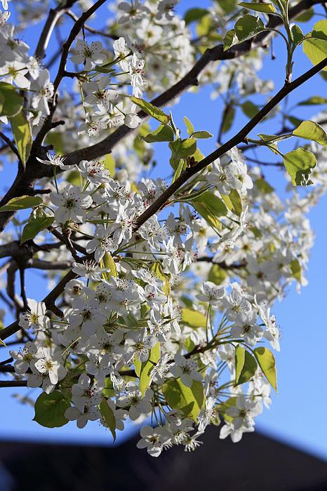 Kay Novy - Spring Blooms