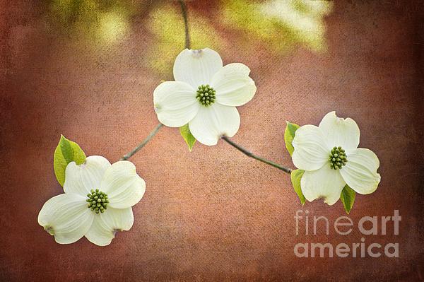 Spring Dogwood Blooms Print by Cheryl Davis