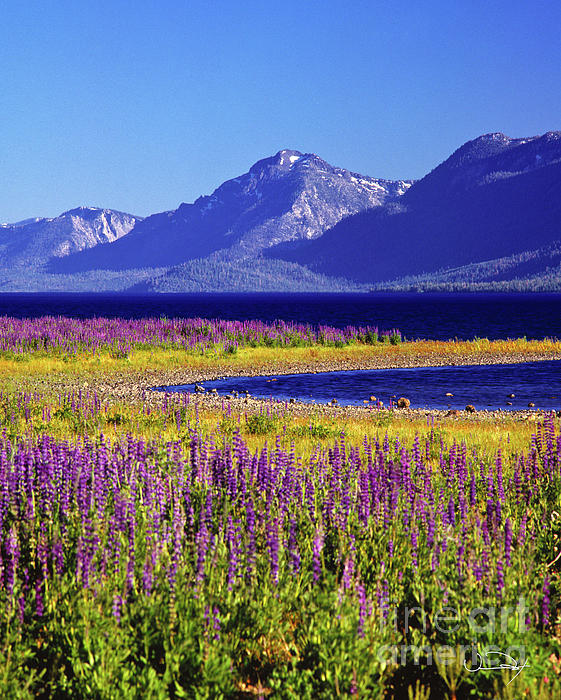 Spring Flowers Lake Tahoe Print by Vance Fox