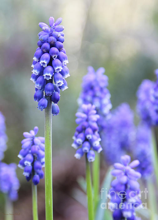 Spring Grape Hyacinth Flowers Print by Jennie Marie Schell