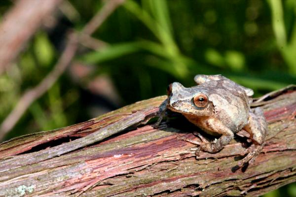Spring Peeper Print by Betsy LaMere