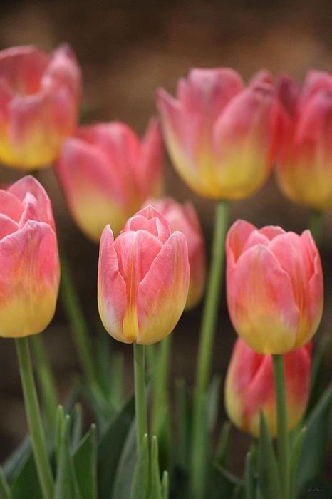 Linda Sannuti - Spring Tulips