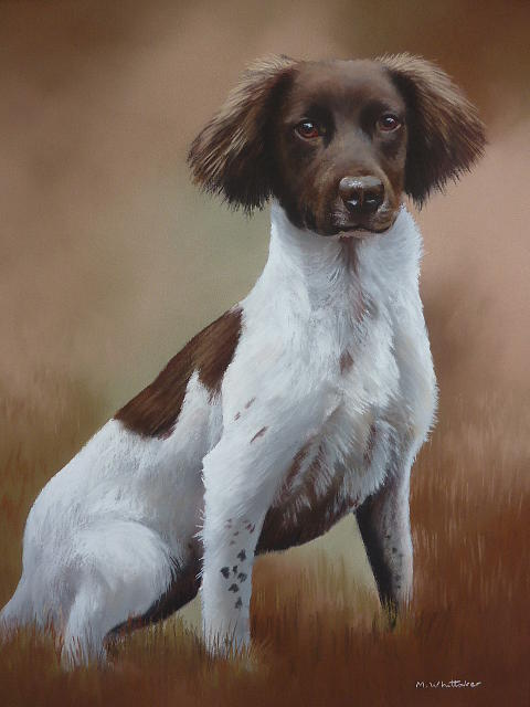 Mark Whittaker - Springer Spaniel Portrait