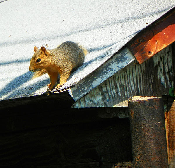 Lenore Senior - Squirrel on a Hot Tin Roof