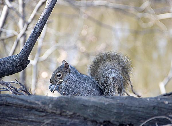 Yosi Cupano - Squirrel