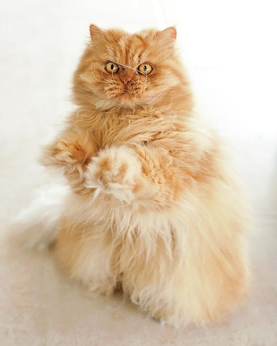 Standing Persian Cat Print by Hulya Ozkok