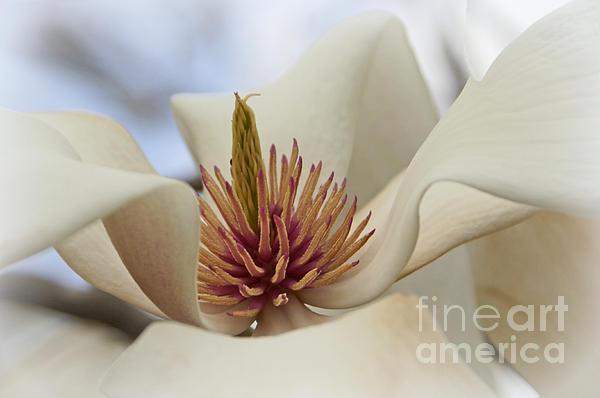 Star Magnolia Print by Benanne Stiens
