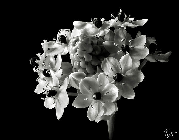 Star Of Bethlehem In Black And White Print by Endre Balogh