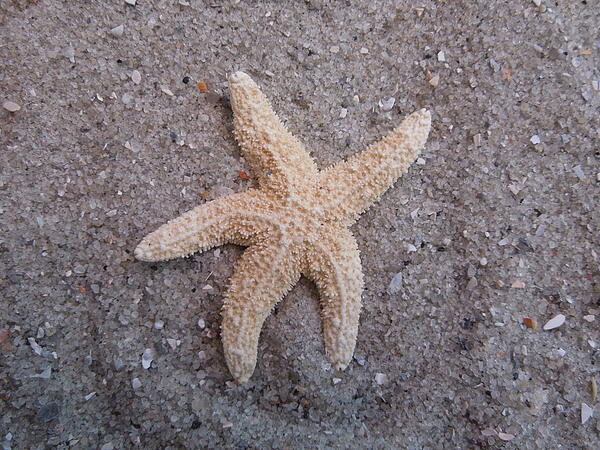Starfish Print by Chad and Stacey Hall