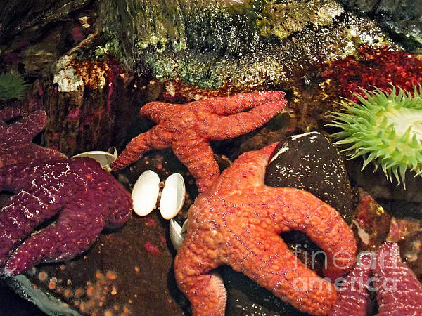 Starfish Medley Print by Methune Hively