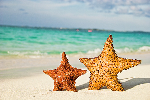 Starfish On Tropical Caribbean Beach Print by Mehmed Zelkovic
