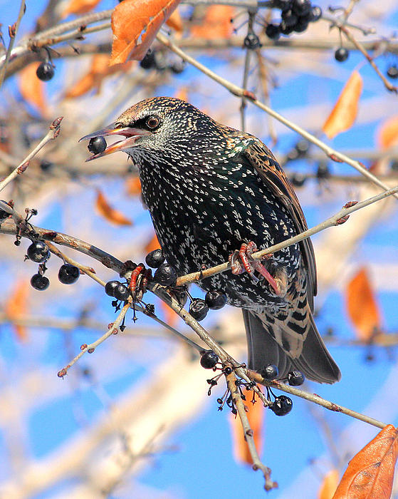 Doris Potter - Starling