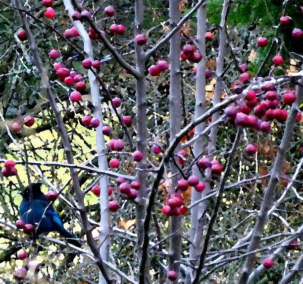Stellar Jay In Crab Apples Print by Will Borden