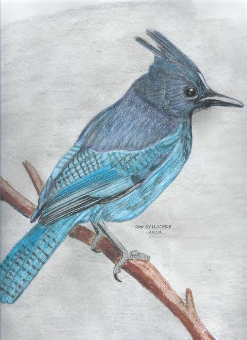 Stellar's Jay Print by Don  Gallacher