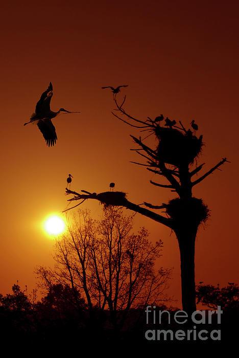 Storks Print by Carlos Caetano