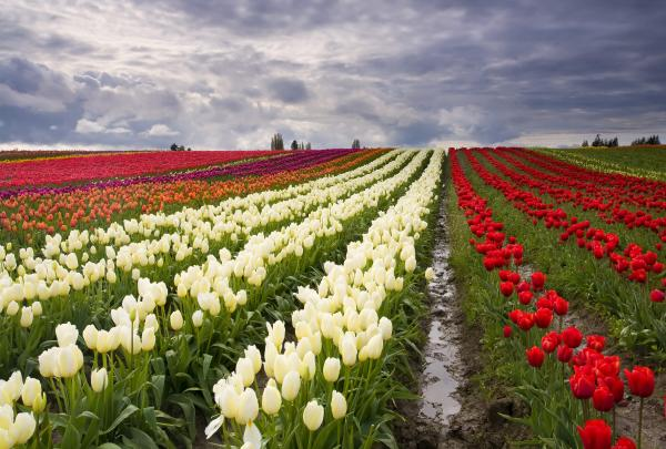 Storm Over Tulips Print by Mike  Dawson