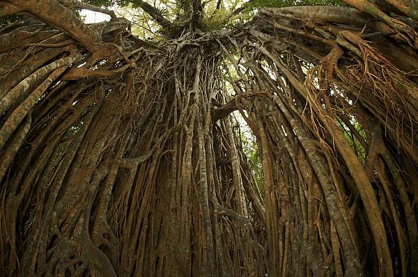 Strangler Fig Tree, Ficus Virens, Known Print by Tim Laman
