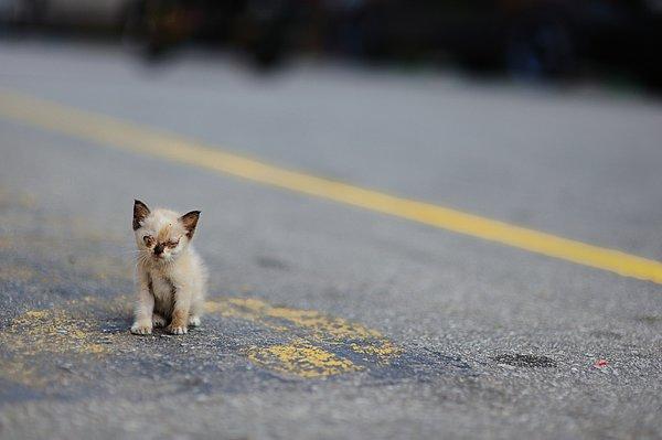 Street Kitten On Road Print by Carlina Teteris