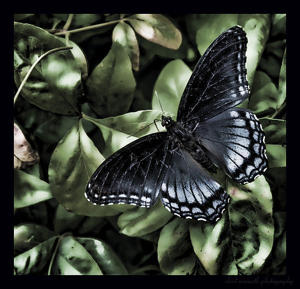 Sheri Bartoszek - Subdued Butterfly