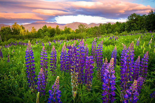 Sugar Hill Lupines Print by Robert Clifford