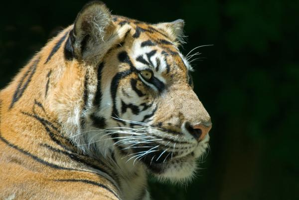 Sumatran Tiger Print by Mary Lane