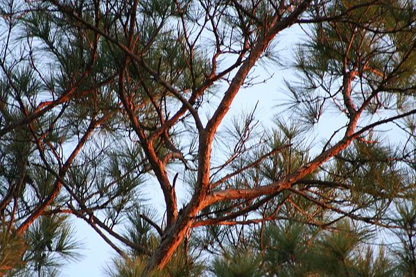 Summer Pine Print by Rusty Voss