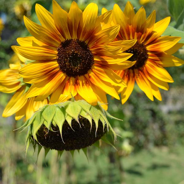 summer sunflowers andrea - photo #26