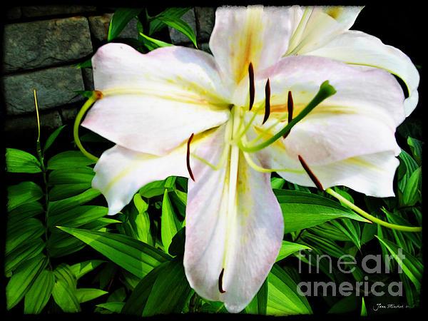 Joan  Minchak - Summer White Madonna Lily