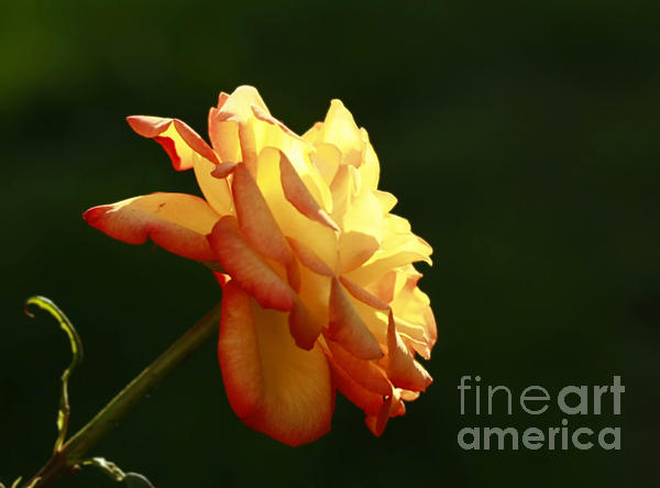 Inspired Nature Photography By Shelley Myke - Summers Glow- Elegant Rose