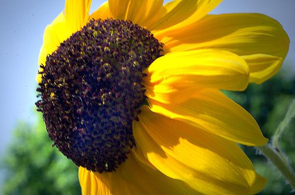 Cheryl Cencich - Sun flower