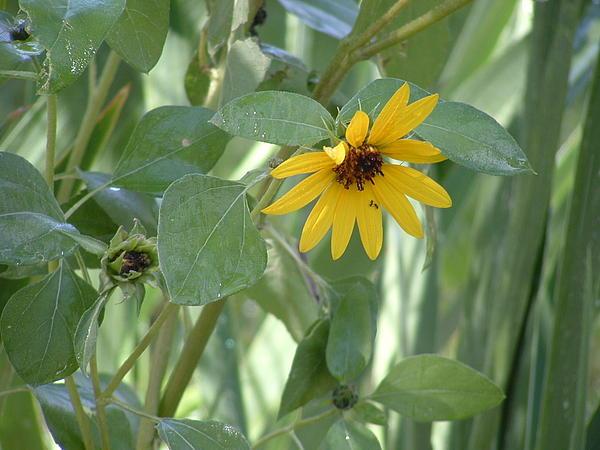 Greta Redzko - Sun Flower