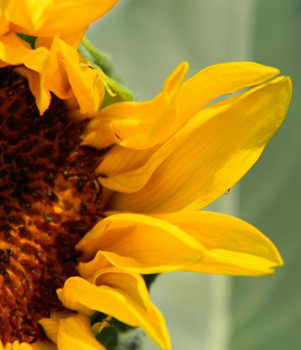 Jessica Duede - Sun Petals