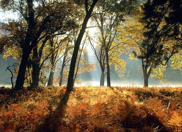 Sun Rays Passing Through Golden Trees  Print by ilendra Vyas