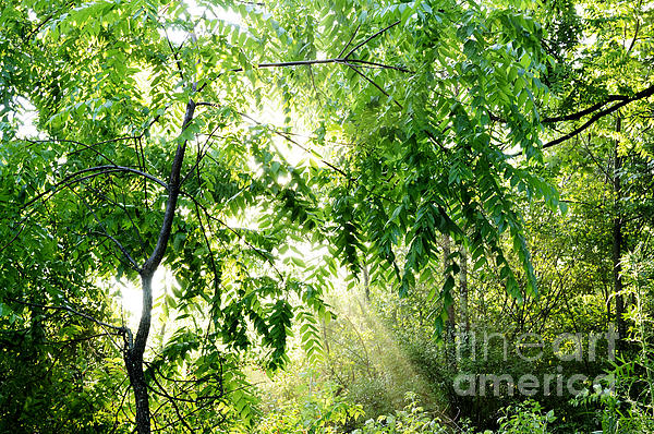Sun Rays Through Black Walnut Leaves Print by Thomas R Fletcher