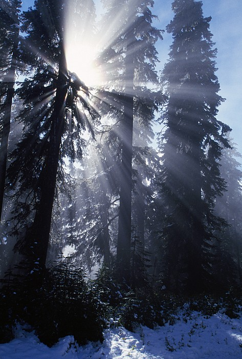 Sunbeams Through Pine Trees Print by Natural Selection Craig Tuttle
